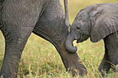 African elephant cow with young calf
