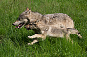 Wolf Pup and parent