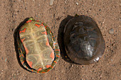 Painted turtle Shells