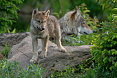 Timber or Grey Wolf Pup