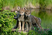 Timber or Grey Wolf Pups
