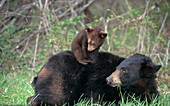 Black Bear cub playing on mother's back