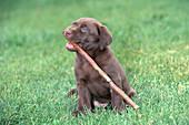 Chocolate Labrador Retriever with stick