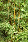 Bamboo (Bambusa dolichoclada 'stripe'