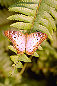 White peacock butterfly on a fern frond