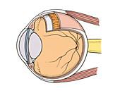 Illustration of Eye Anatomy