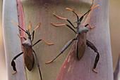 Giant Agave Bug