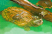 Alligator Snapping Turtle with Young