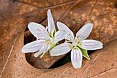 Spring Beauty Flowers