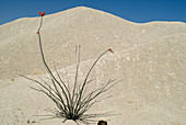 Ocotillo in bloom and volcanic tuff