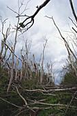 Trees Damaged by Hurricane Iniki
