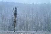 Snowfall in Yellowstone National Park