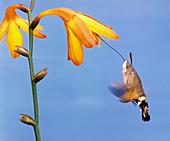 Day-flying Moth Feeding