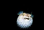 Yellowspotted Pufferfish