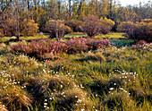 Rhodora and Cotton Grass