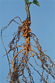 Root Nodules