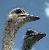 Head of a female ostrich