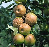 Brown rot on apple fruit