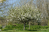 Discovery Apple Tree in Flower