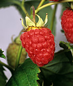 Ripe summer raspberry
