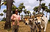 Farmer and Oxen,Cuba