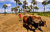 Oxen Ploughing Tobacco Fields,Cuba