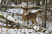 White-Tailed Buck in Winter