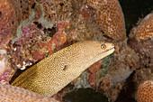 Golden Tail Moray