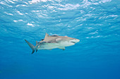 Lemon shark with remoras