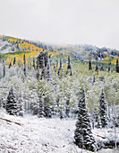 Fresh Snow and Quaking Aspen