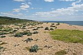 Vegetation on Chesil Beach,UK