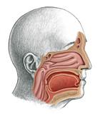 Nasopharynx