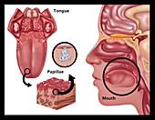 Anatomy of Taste,Illustration