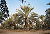 Date Palms,Saudi Arabia