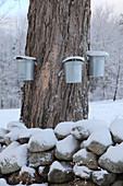 Maple Syrup Collecting