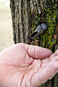 Hand Catching a Drop of Maple Sap