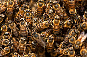 Africanized Italian Honey Bees