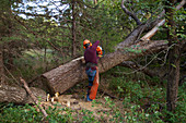 Logger cutting a walnut tree