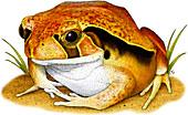 Tomato Frog,Illustration