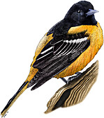 Baltimore Oriole,Illustration