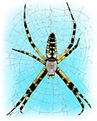 Garden Spider,Illustration