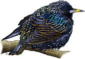 European Starling,Illustration