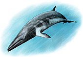 Minke Whale,Illustration