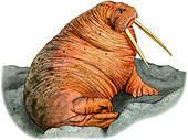 Pacific Walrus,Illustration