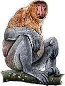 Proboscis Monkey,Illustration