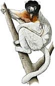 Sifaka Lemur,Illustration