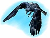 American crow,Illustration