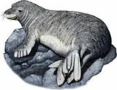 Hawaiian monk seal,Illustration