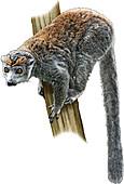 Crowned Lemur,Illustration