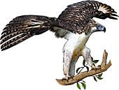 Philippine Eagle,Illustration